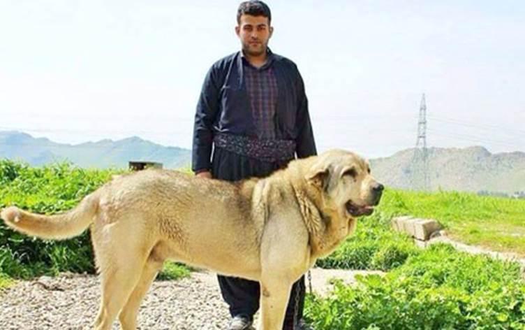 كلب بشدر الكردي 3